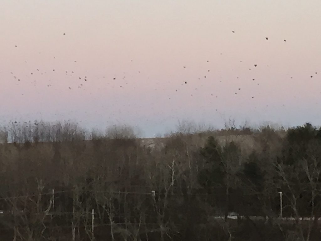 crows of the Merrimack River